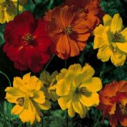 Cosmos Cosmic Mixed - 30 seeds